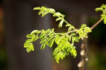 Moringa Oleifera's leaves