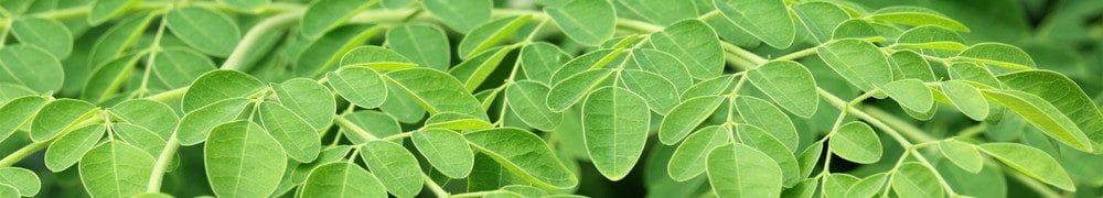 10 Amazing Moringa Benefits - Moringasiam com