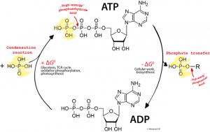 corossol ATP ADP