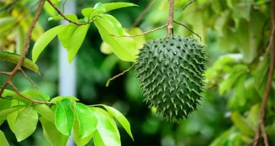 Soursop , The Superfruit With Amazing Benefits