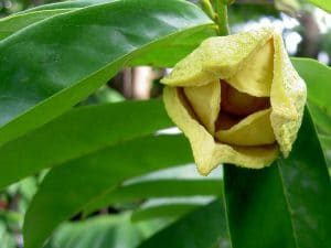 corossol fleur